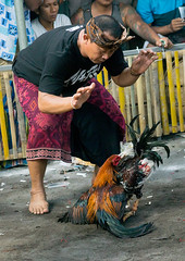 Cockfighting in a temple, Bali island, Canggu, Indonesia (Eric Lafforgue) Tags: action adultsonly aggressive animals asia asian bali bali1531 balinese bet betting birds blood bloodsport chickens cockfighting cockfights cocks cruel cultural domestic feathers festival fight fighting gamble gambling illegal indonesia indonesian menonly oneperson roosters sarung sport traditional vertical canggu baliisland