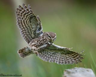 Little owl 15th June (1 of 1)