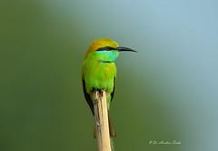 Green Selfie!!! (Anirban Sinha 80) Tags: nikon d610 500 mm ed vr ii n f4 fx bokeh bird beeeater colour portrait