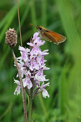 Small Skipper on Orchid (Roy Lowry) Tags: smallskipper cerneabbas gianthill spottedorchid thymelicussylvestris