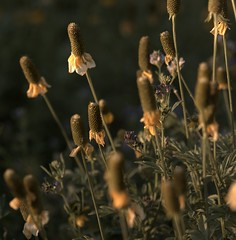 20170701_Prairie hat flowers (JoelDeluxe) Tags: southvalley newmexico nm deluxevalleyorchards peaches flowers red orange yellow green joeldeluxe