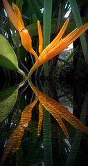 Heleconia Flower Reflections (scinta1) Tags: indonesia bali seminyak villa green tropical leaves flowers bohemian private plants orange spike heliconia reflection