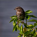 song sparrow and the sea