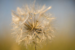 Honeymoon (Mo Vidal) Tags: dandelion pusteblume outdoor drausen detail dof gelb blau weis feld field farbig farbe frühling schärfentiefe sonyalpha spring sommer springtime minimalismus minimalism makro macro yellow blue white summer licht light