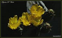 Fico d'India - Giugno-2017 (agostinodascoli) Tags: ficodiindia fiori frutti nature texture cianciana sicilia nikon nikkor agostinodascoli piante giugno