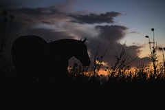 A Horse With No Name (matiasrquiroga) Tags: horse sunset animal animals clouds la pampa argentina countryside campo silhouette silueta contraluz atardecer dusk dawn