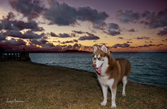 Sitka Stands Ready! (JUNEAU BISCUITS) Tags: dog husky siberianhusky sunset hawaii pet oahu waimanalo nikon nikond810
