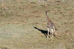botswana-2017_DSC6205b (Marco Pozzi photographer (880k+ views, thanks)) Tags: giraffe delta okavango botswana africa marcopozziphotographer marcopozzi pozzi specanimal