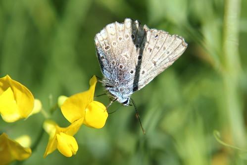 Farfalla (Licenide Icaro?)
