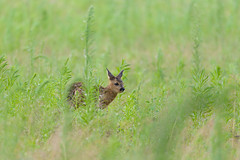 Fawn after rain (1/2) (derliebewolf) Tags: rehe säugetiere wildlife fawn deer nature animal wildanimal summer baby field corn sunset germany vacation