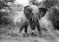 Ellie and dust(B&W) (Sheldrickfalls) Tags: elephant elephantbull olifant sabisands nottensbushcamp krugernationalpark kruger krugerpark mpumalanga southafrica loxleycolourcom sunrays5 coth5