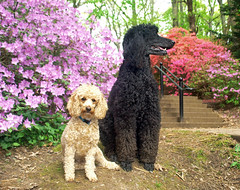 (Jean Arf) Tags: highlandpark rochester spring 2017 dog poodle steps stairs azalea bloom flower nash standardpoodle dusty miniaturepoodle