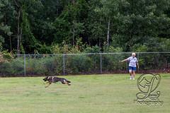GSD-4445 (jim_lamy) Tags: gsd ipo germanshepherd schutzhund workingdog