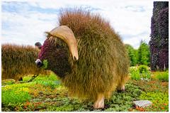 Buffalo (fadelemad324) Tags: animals africa beautiful colors camera canada gatineau buffalo bison nikon nature nik nikond7000 d7000 dslr digital