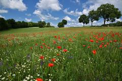 Nature fleurie (Excalibur67) Tags: nikon d750 sigma globalvision 24105f4dgoshsma paysage landscape flowers fleurs coquelicots poppies pavots nature