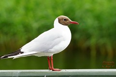 Handsome gull (Jurek.P) Tags: mewaśmieszka blackheadedgull birds ptak ptaki bird mazury masuria poland polska lato summer gołdap jurekp sonya77