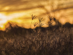 grass on dusk (gnarlydog) Tags: nature grass australia bokeh sunset warmlight goldenhour backlit projectionlens manualfocus adaptedlens vintagelens vintagelenseffect russianlens rural colorful ro5011100mmf2 painterly