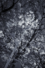 Below the queen (citrusjig) Tags: pentax kx infrared irconverted fullspectrum wisconsin blackandwhite toned sigma1020mmf456 bw090redfilter queenanneslace