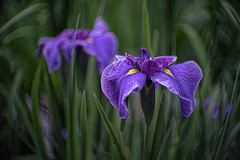 _DSC1766 (kymarto) Tags: bokeh bokehlicious bokehphotography dof depthoffield flowers flowerphotography nature naturephotography beauty beautiful sony sonyphotography sonya7r2 oldlens vintagelens fastax raptar wollensak purple iris