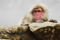 Stressful Day (_Hadock_) Tags: jigokudani monkey park mono snow detail macro animal nature wallpaper walpaper fondo de pantalla screensaver desktop dof small young joven pequeño creative commons full hd high resolution comons free nikon d750 sigma 105mm f28 outdoor depth field look thelook standing stand wait stressful stress estres