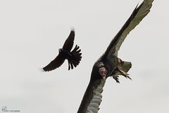 Turkey Vulture and Red-winged Black Bird. (Estrada77) Tags: turkey vulture raptors distinguishedraptors birdsofprey nikon 200500mm wildlife outdoors summer2017