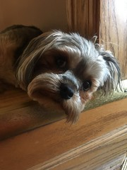 chewie. july 2017 (timp37) Tags: chewie dog pet 2017 july illinois chicago