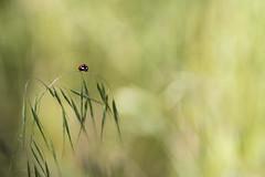 Minuscule (Dalt-Gilles) Tags: macro coccinelle insecte nacreimagesstagesphotos stagesphotos normandie