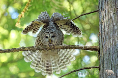 A Good Stretch (PamsWildImages) Tags: barred owl bird raptor nature canada bc wildlife stretch pamswildimages