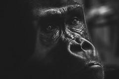 Gorille perdu dans ses pensées (dono heneman) Tags: gorille gorilla perdu lost pensées thought portrait noiretblanc nb blackwhite nature animal animaux animalia animals mammifère mammalia vertébré vertebrata vertebra primate primates singe monkey zoo zoologie portraitanimalier regard looking face visage head laboissièredudoré loireatlantique paysdelaloire france pentax pentaxart pentaxk3