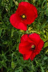 Poppies. (berenice29) Tags: poppies red garden billingham flower nikond7000