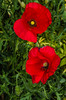 Poppies. (berenice29) Tags: poppies red garden billingham flower nikond7000