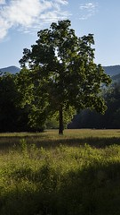 tree (1 of 1) (aukalou83) Tags: woods tree sunlit lit sunlight basking meadow field hiking outdoors nature