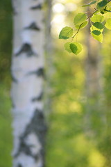 Summer Light (jttoivonen) Tags: nature tree leaves detail outdoors finland creativecommons vintagelens forest green bokeh