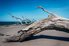 Driftwood on Big Talbot (J. Parker Natural Florida Photographer) Tags: driftwood log beach shore sea seashore coast atlantic bigtalbotisland talbotislandstatepark talbotisland outdoor landscape dramatic vsco vscofilm a1a florida northflorida scenic nature wild floridahikes jacksonville