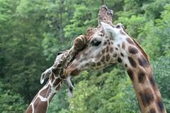 Girafes (Passion Animaux & Photos) Tags: girafe giraffe zoo neunkirchen allemagne germany