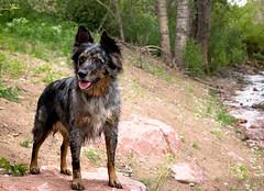 23/52 Weeks of Finn (Raquel Robison) Tags: 52weeksfordogs 52weekoffinn finn dogs gardenofthegods spring