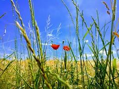 oneplus 3 op3 poppy mohn sommer summer sky himmel blume... (Photo: Schub@ on Flickr)