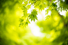 Verdure (moaan) Tags: noctilux50mmf10 kobe hyogo japan jp momiji maple japanesemaple green fresh leaves fragile june mtrokko bokeh bokehphotography dof utata 2017 leica mp leicamp leicanoctilux50mmf10 50mm f10