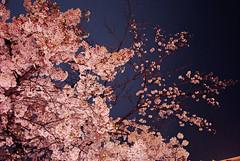 Sakura (Honey Bfly) Tags: nikond60 sakura cherryblossom cerezo flores flowers primavera spring japan japon tokio tokyo ueno uenopark