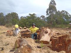 Field Officer planting around habitat logs (OEHmedia) Tags: habitatrecreation wildlife threatenedspecies abandonedquarry worrigeenaturereserve greenandgoldenbellfrog