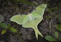 "Gorgeous ""Eyes"" (rachelhartleysmi) Tags: luna moth green insect creature nature wild beautiful eyes"
