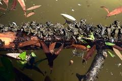 Frogs DSC_0412 (Me now0) Tags: frog жаба никонд5300 юженпарк софиябългарияевропа nikond5300 micronikkor40mm park europe