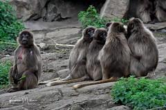 Gelada Baboon - Sent to Coventry (Karen Miller Photography) Tags: edinburghzoo zoo captivity captive edinburgh geladobaboon baboon animal nikon rzss scotland enclosures karenmillerphotography