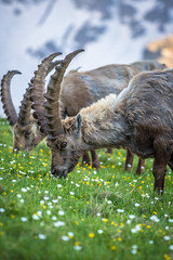 Snack with a friend (Ettore Trevisiol) Tags: ettore trevisiol nikon d7200 nikkor 18 70 d300 tokina 11 20 55 200 gran paradiso national park ibex snow grass sunset mountain flowers