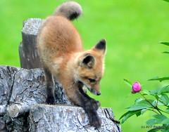 DSC_0716 (rachidH) Tags: fox renard vulpes foxcub renardeau redfox renardroux vulpesvulpes backyard frontyard wildlife sparta newjersey nj rachidh nature