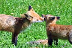 DSC_0773 (rachidH) Tags: fox renard vulpes foxcub renardeau redfox renardroux vulpesvulpes backyard frontyard wildlife sparta newjersey nj rachidh nature