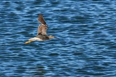 20170702 Oak Bay Yellowlegs (Robert Harwood) Tags: bird yellowlegs oakbay victoria britishcolumbia canada water blue