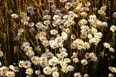 Daisies (Kristian Francke) Tags: flower daisy bokeh helios 44k4 44k outdoors grass summer sun sunny pentax bc canada britishcolumbia