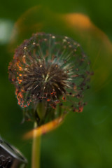 swirling in flame. (boredomextractionpoint) Tags: nature flower flowers flame burning dandelion dandelions macro