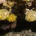 Pineapplefish - Cleidopus gloriamaris